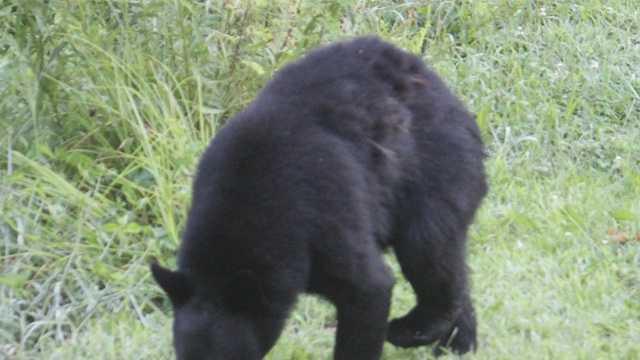 Bear generic
