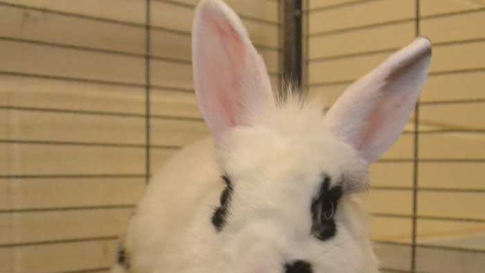 A bunny at the NH SPCA in need of a home.