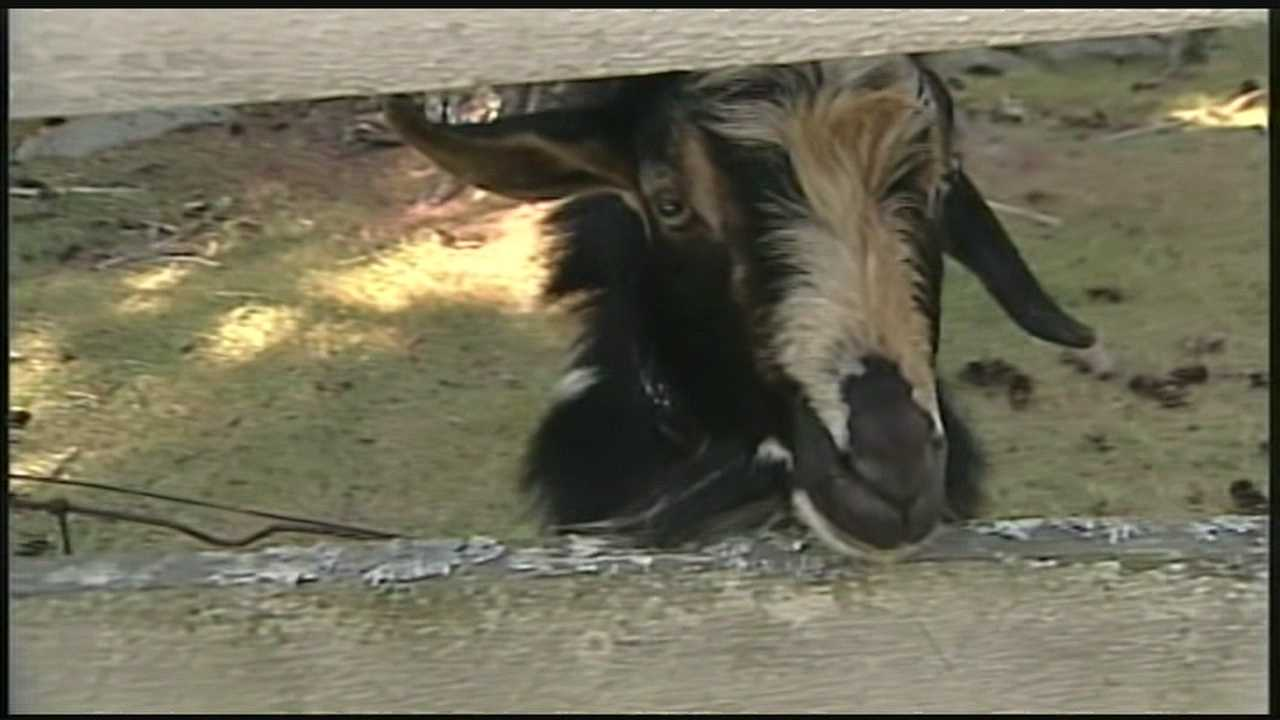 Wandering farm animals lead to complaints in Rye
