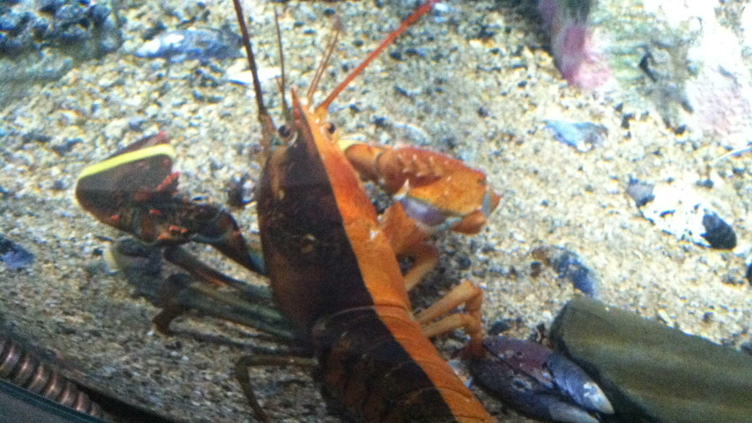 two tone lobster.JPG