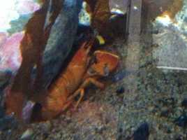 Check out just how rare the following lobsters are, according to the Lobster Institute at the University of Maine.