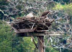 Squam Lakes Natural Science Center used a GPS device to track Art the osprey's migration from his Bridgewater home to Florida, Cuba, Haiti, South America, Brazil and back.Read more: http://www.wmur.com/news/nh-news/Art-the-osprey-touches-down-in-NH/-/9857858/19694176/-/wrkm7k/-/index.html