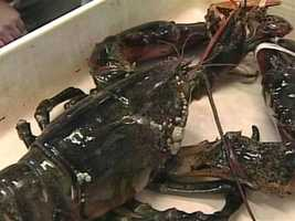Lobsters hunt for food at night and mainly eat fresh food like crabs, clams, mussels and sometimes other lobsters.