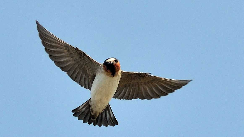 Cliff swallow bird