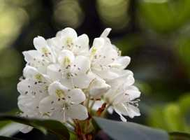 Rhododendron State Park is named after the 16-acre grove of Rhododendron Maximum, which is the focal point of the park. It is on Route 119 and there is no charge for admission.