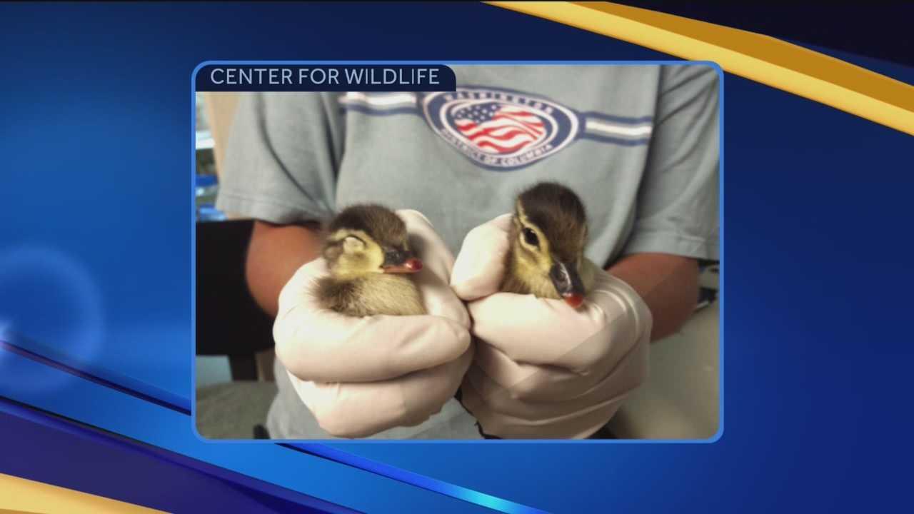 Rescued ducklings