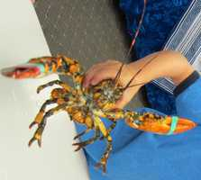 A Hampton man caught a rare calico lobster, experts say.