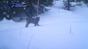 New Hampshire Fish and Game officials said a remote camera captured images of this Canada lynx up in Pittsburg. The agency's non-game and endangered wildlife program is working with the Northeast Climate Science Center and UMass Amherst to monitor the lynx species, along with American martens.