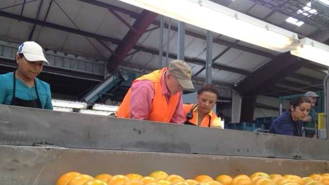 Gov. Rick Scott tries his hand in the citrus industry by packing oranges in Vero Beach. (Ted White/WPBF)