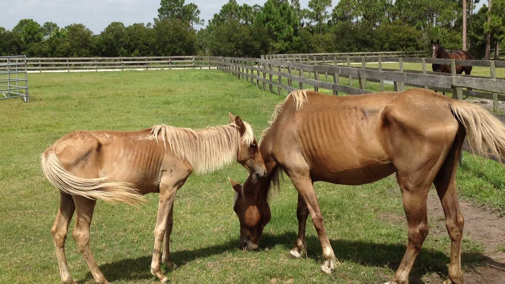 These are two of the three malnourished horses that were rescued from a farm in western Martin County.