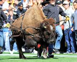 The tradition of Ralphie running around in a loop on Colorado's Folsom Field started in 1967. Ralphie V took the field with the Buffaloes for the first time in 2008. (Photo: University of Colorado)
