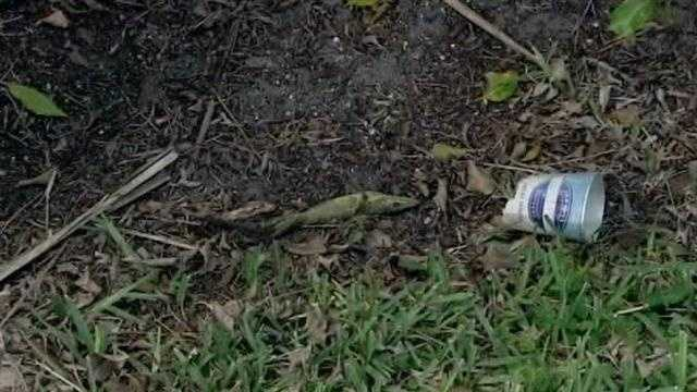 This lizard caused a massive power outage at a Boca Raton shopping plaza.