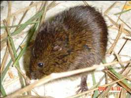 Florida salt marsh vole - ENDANGERED