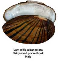 Shinyrayed pocketbook - ENDANGEREDNot pictured in this slideshow:Choctaw bean - ENDANGEREDOchlockonee moccasinshell - ENDANGEREDFuzzy pigtoe - THREATENEDNarrow pigtoe - THREATENEDTapered pigtoe - THREATENEDReticulated flatwoods salamander - ENDANGEREDSouthern sandshell - THREATENEDSquirrel chimney cave shrimp - THREATENEDChipola slabshell - THREATENED