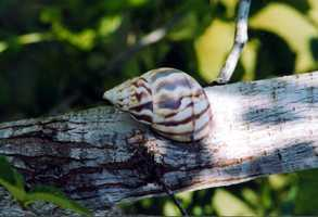 Stock Island tree snail - THREATENED
