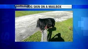 A Fort Pierce man says he suspects some neighborhood punks are responsible for the hogs skin found on his mailbox.
