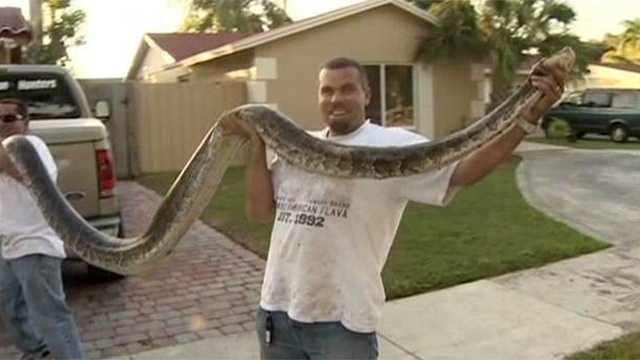 112712 Huge python found in Everglades