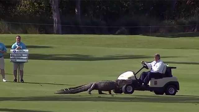 Gator Interrupts Golf Tournament