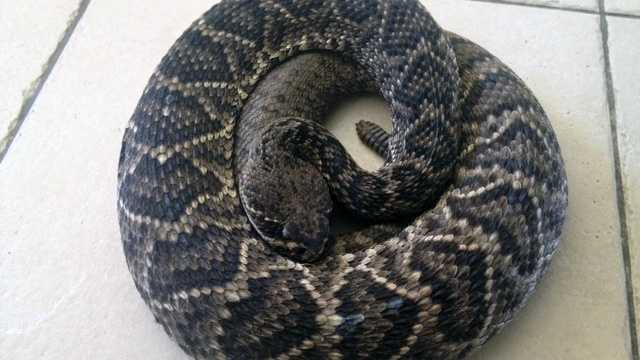 042913 Eastern Diamondback Rattlesnake