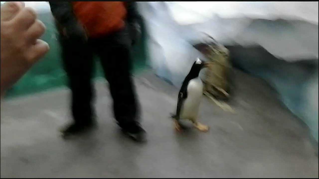 Penguin gets loose at SeaWorld's Antarctica