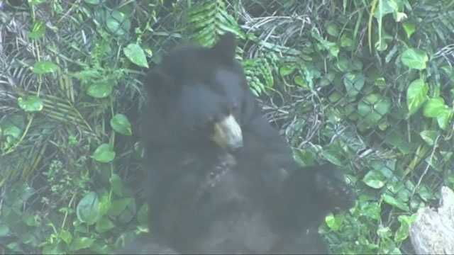 Lewis the black bear scratches back