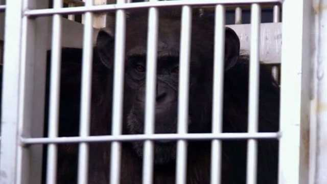 Image Save the Chimps sanctuary in Fort Pierce rescues chimp from Las Vegas