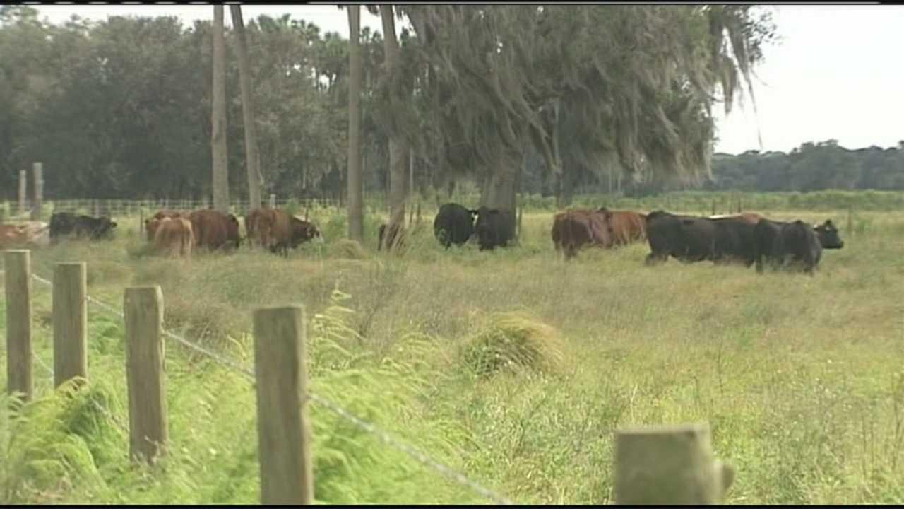 Deputies arrest man in massive cattle theft