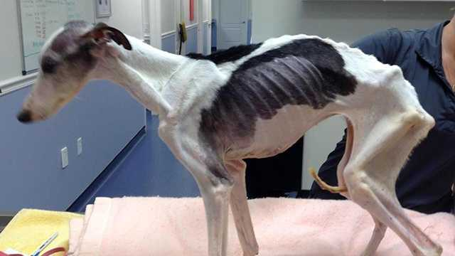 Emaciated Dogs