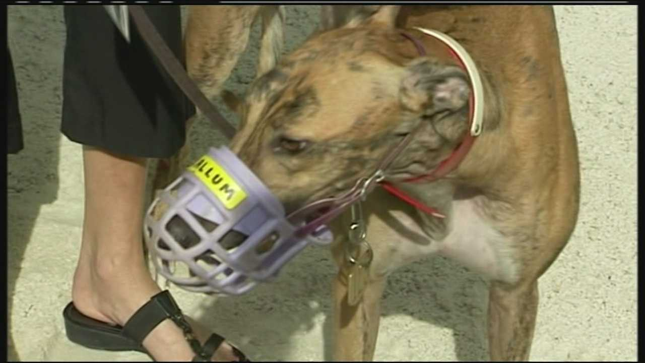 Rescue groups search for escaped greyhound