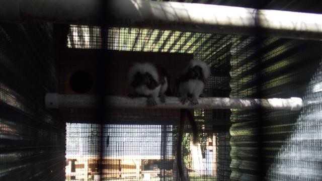 monkeys in cage