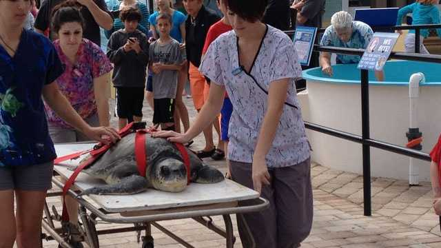 This sea turtle was rescued and brought to the Loggerhead Marinelife Center.