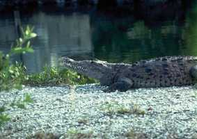 American crocodile - THREATENED