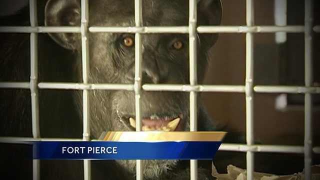 Terry the chimp was rescued from a Nevada zoo last year is now enjoying life at the Save The Chimps Sanctuary in Fort Pierce.