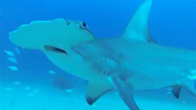 GoPro Hammerhead Shark Screengrab