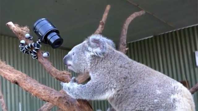 Koala screengrab