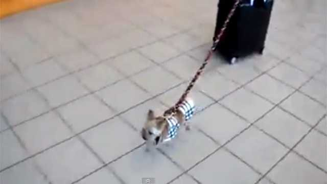 A 3-pound dog is seen pulling a 30-pound suitcase through an airport in this video that will no doubt go viral Tuesday.