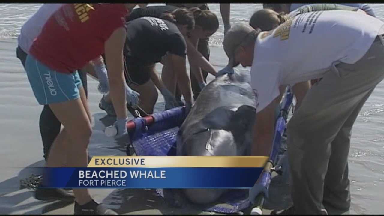 On-lookers and animal rescuers from Florida Atlantic University's Harbor Branch did all they could to help the 8 ft, 800lb  pygmy sperm whale that washed ashore in Pepper Park in Fort Pierce Friday.