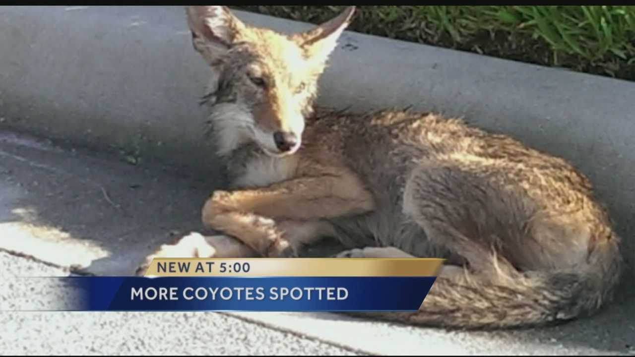 Baby coyote killed by car in Jupiter