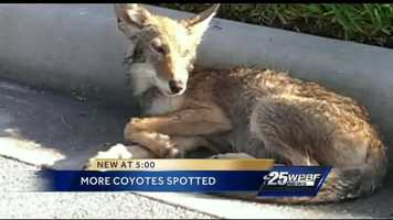 This baby coyote was hit by a car and taken to an animal sanctuary.