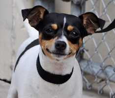 Othella (ID#1763155) – 2 year old, spayed female, mixed breed dog, 13 pounds – Needs Foster or Adopter – she has kennel cough (dog cold) and will need to be fostered for 10-14 days until she is feeling better. We provide all supplies and medical care for foster families. Othella can also be adopted – we will send home with antibiotics and the adopter will also receive a free follow-up visit with participating veterinarians.Anyone interested in fostering, rescuing or adopting any of these animals, can contact Kelly Diegert at 561-233-1219 or Tammy Roberts at 561-233-1281. Please reference animal ID#.