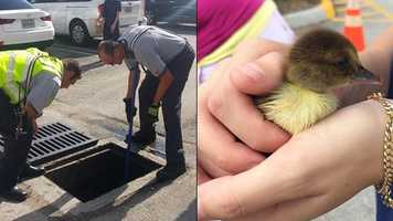 On Monday, Palm Beach County Fire Rescue crews saved the day for one stressed momma duck as her ducklings became trapped in a storm drain in Palm Springs. The story had a happy ending – fuzzy, feathered family reunited!