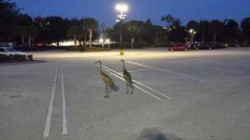 Just a couple of cranes cruising through the Walmart parking lot.Bird parking only?