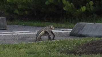 Got to go! Baby gator running through a parking lot in Wellington, Florida.