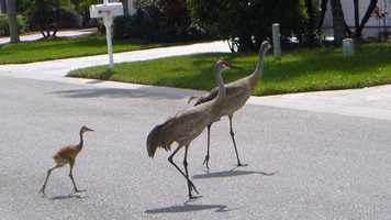 Sandhill cranes crossing!