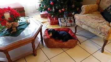 Business manager Pet Zwemke's dog Tigger is guarding her Christmas tree in his new bed that Santa brought early!