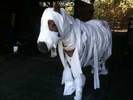 Meet Amos The Wonder Horse. The u local user claims also to be Amos The Wonder Horse, but we're a little skeptical about his computing abilities. Either way, Amos dressed up as a mummy for Halloween last year.