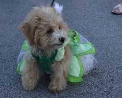 Flutterby is a festival in Grapevine, Texas, that celebrates the migration of the Monarch Butterfly. But Flickr user Sheribeari took her dog anyway!
