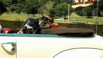 """Flickr user billaday says, """"I suppose that only in Colorado would you find dogs with glasses/goggles on while driving down the freeway. I've been told, however, that it's dangerous for dogs to have their eyes exposed at high speeds. Hmm."""""""