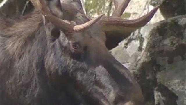 092412 Moose loiters near Adirondack road - img