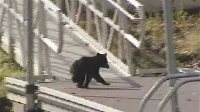 "Police ""coax"" baby bear back into woods"